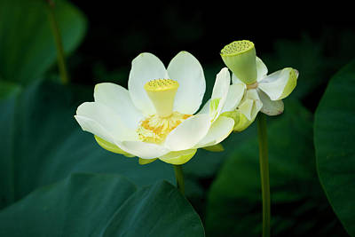 Flowers Photograph - The White Lotus by Michael Barry