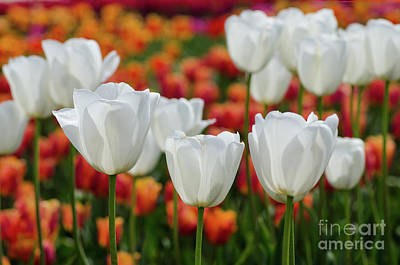 Photograph - The White Ones by Nick Boren