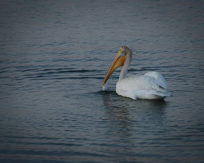 Pelican Digital Art - The White Pelican 1 by Ernie Echols