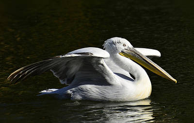 Photograph - The White Pelican  by Saija  Lehtonen