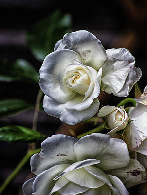 Flower Design Photograph - The White Rose by Martin Newman