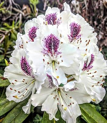 Wall Art - Photograph - White And Purple Rhododendron by Valerie Shinn