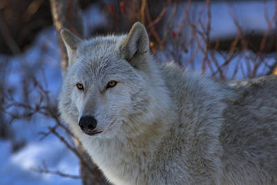 Photograph - The White Wolf by Jeff Shumaker