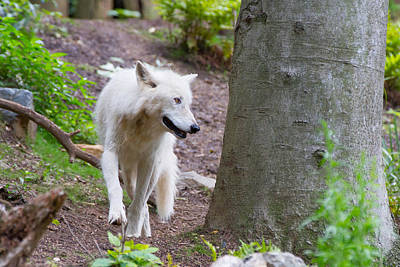 Photograph - The White Wolf by SR Green