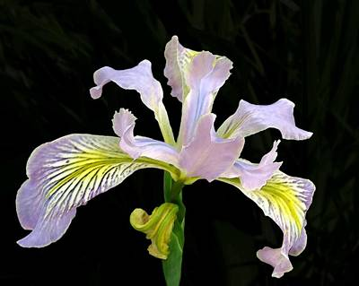 Photograph - The Wild Iris by I'ina Van Lawick