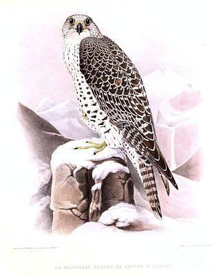 Painting - The Wild Tiercel Iceland Falcon by Celestial Images