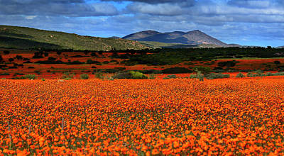 Photograph - The Wildflowers Of Namaqualand by Martin Heigan