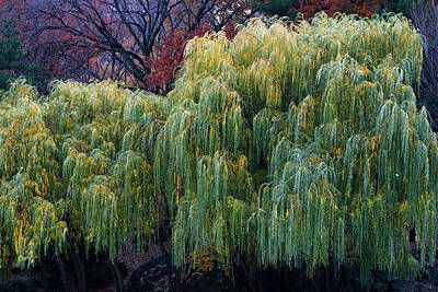 The Willows Of Central Park Art Print by Lorraine Devon Wilke