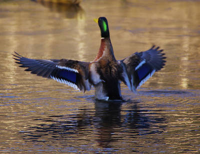 Photograph - The Wing Flap by Buddy Scott