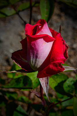 Photograph - The Winter Rose by Tikvah's Hope