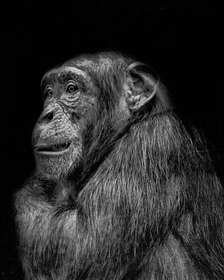 Chimpanzee Wall Art - Photograph - The Wise Chimp by Martin Newman