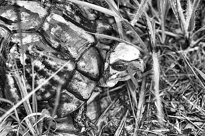Box Turtle Photograph - The Wise Old Turtle Black And White by JC Findley
