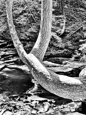 Photograph - The Wishbone Tree Bw by Rachel Hannah