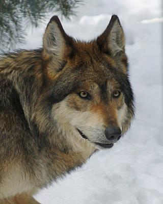 Mexican Wolf Digital Art - The Wolf 2 by Ernie Echols