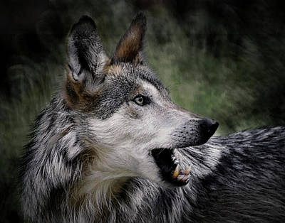 Photograph - The Wolf 4a by Ernie Echols