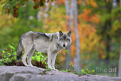 Photograph - The Wolf. by Denis Dumoulin
