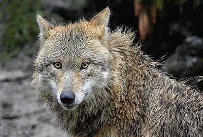 Animals Royalty-Free and Rights-Managed Images - The Wolfess by Joachim G Pinkawa
