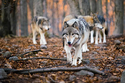 Loping Photograph - The Wolfpack by Mark Robert Rogers