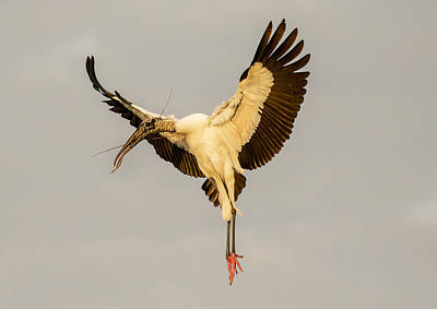 Photograph - The Wood Stork Angel by Phil Stone