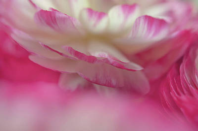 Photograph - The World Of Flower. Ranunculus Delight by Jenny Rainbow