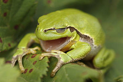 Frog Photograph - The Yawning Tree Frog by Roeselien Raimond