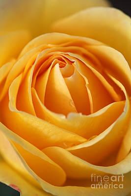 The Yellow Rose Art Print by Joy Watson