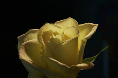 Print featuring the photograph The Yellow Rose by Sheryl Thomas