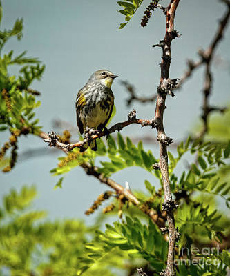 Photograph - The  Yellow-rumped Warbler by Robert Bales