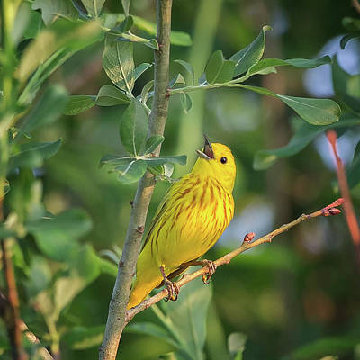 Photograph - The Yellow Warbler Square by Bill Wakeley