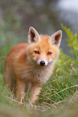 Adorable Photograph - The Young And Eager Red Fox Kit by Roeselien Raimond