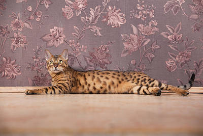 Photograph - The Young Bengal Cat Relaxing. by Alex Potemkin