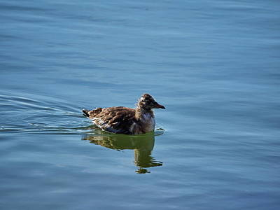Photograph - The Young Gull by Jouko Lehto