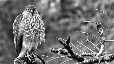 Photograph - The Young Hawk Bw by Julia Hassett