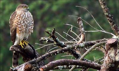 Photograph - The Young Hawk by Julia Hassett