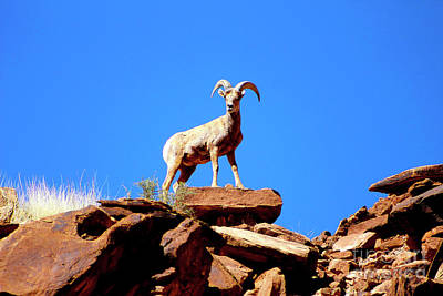 Photograph - The Young Ram Reaches The Sky Line by Dale E Jackson