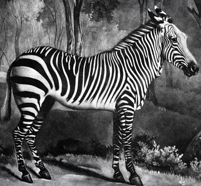 Rural Scenes Drawing - The Zebra by George Stubbs