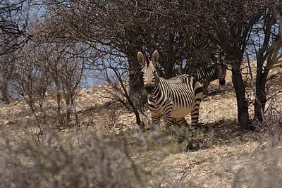 Photograph - The Zebras by Ernie Echols