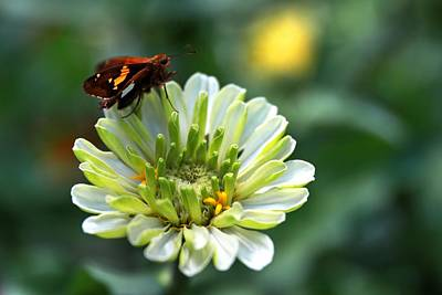 Photograph - The Zinnia And A Skipper by Carol Montoya