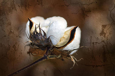 Rough Photograph - Them Cotton Bolls by Kathy Clark