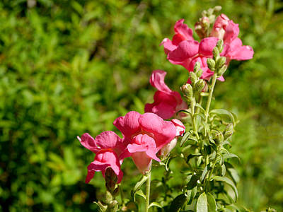 Photograph - There Be Snapdragons by Richard Reeve