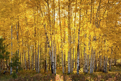 Photograph - There's Gold In Them Woods  by Saija Lehtonen