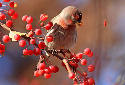 Red Finch Photograph - These Berries Are Making Me Dizzy  by Donna Kennedy