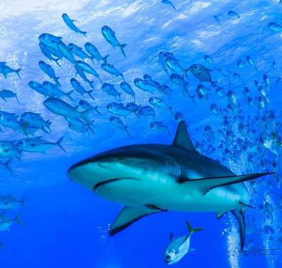 Wall Art - Photograph - These Fish Coexist With The Shark. And by Devin Warner