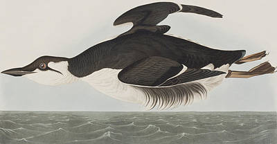 Black And White Birds Painting - Thick-billed Murre by John James Audubon
