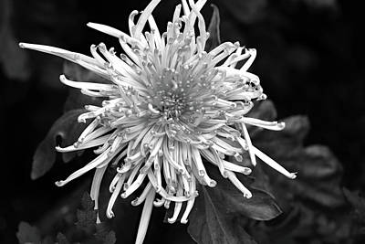 Photograph - Thin And Spiky by Mary Haber