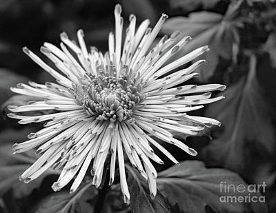 Photograph - Thin Petals by Mary Haber