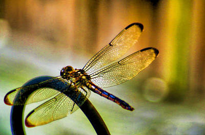 Tiger Dragonflies Photograph - Iridescent Wings  by Olahs Photography