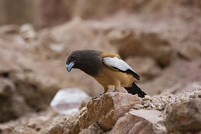 Photograph - Thinking Treepie by Ramabhadran Thirupattur