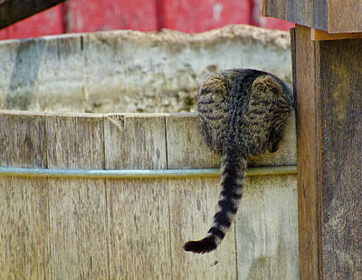Photograph - Thirsty Barn Cat by Wilma  Birdwell