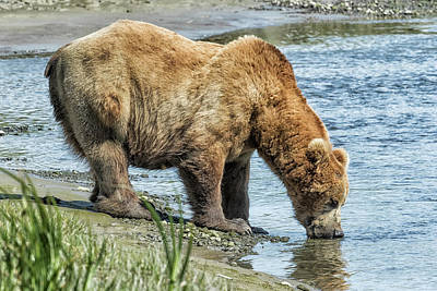 Photograph - Thirsty Big Brown Male Bear by Belinda Greb